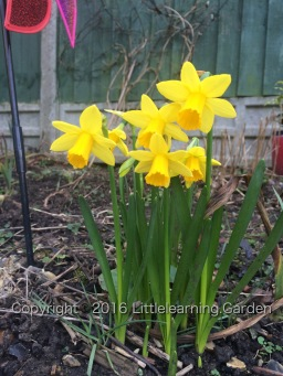 Dawning of the Daffodils
