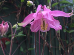 "The not so ""Common Columbine"""