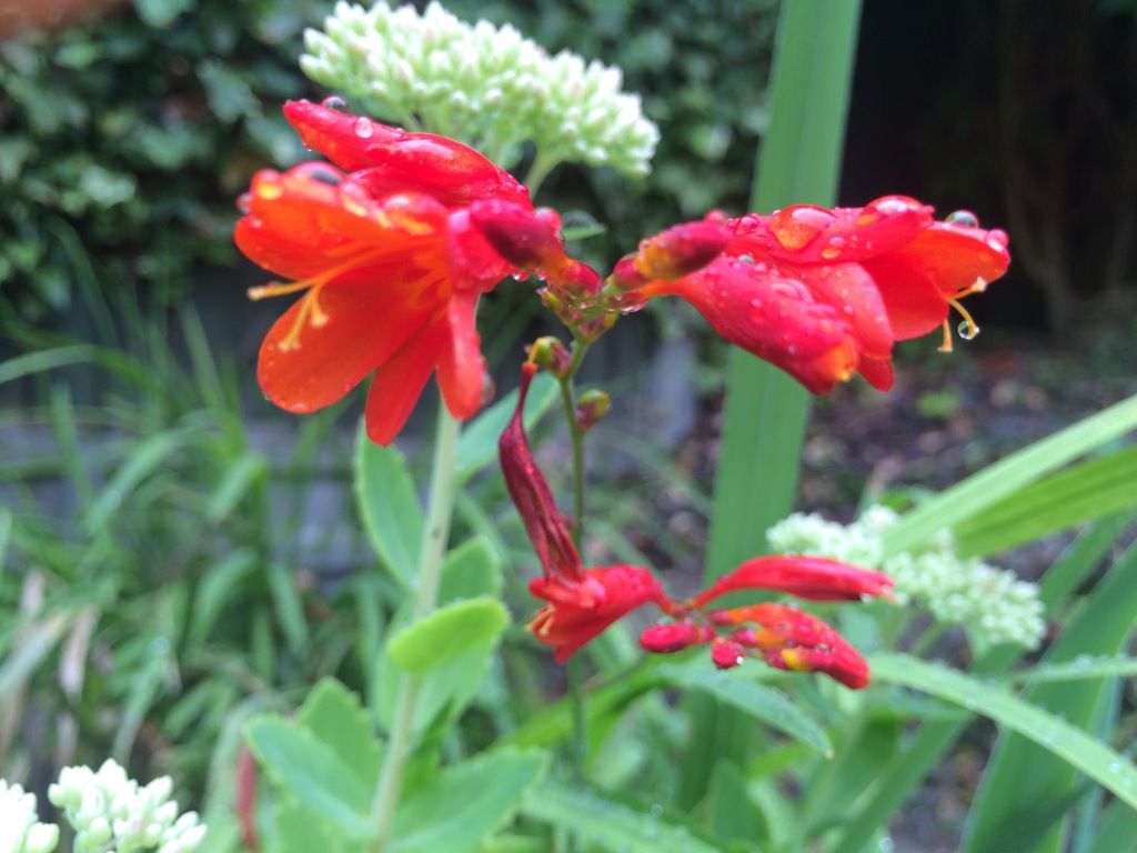 Crocosmia lucifer little learning garden for Plants that are easy to maintain