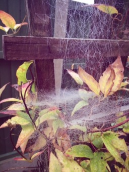 Cobwebs on Clematis