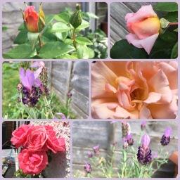 Rose Petals & Lavender Heads